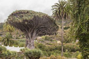 De drakenbloedboom