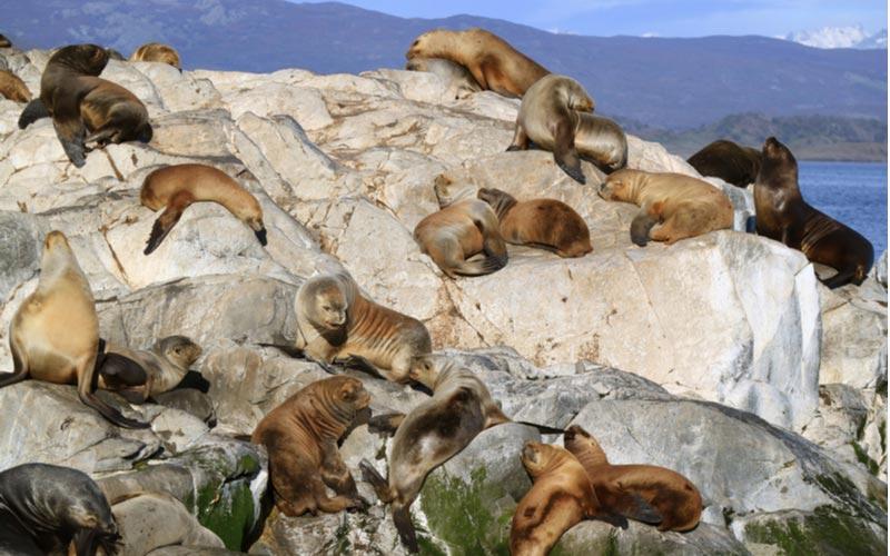 Zeeleeuwen op Isla de los Lobos