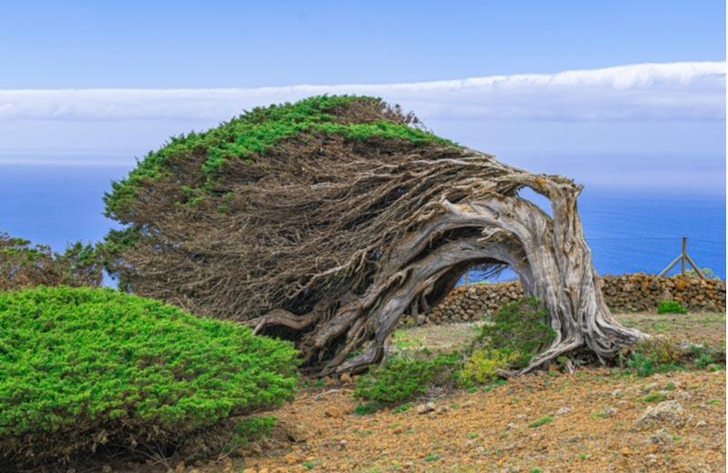 Phoenician Juniper tree in Sabinar - El Hierro