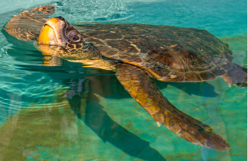 Caretta Caretta schildpadden in Dalyan
