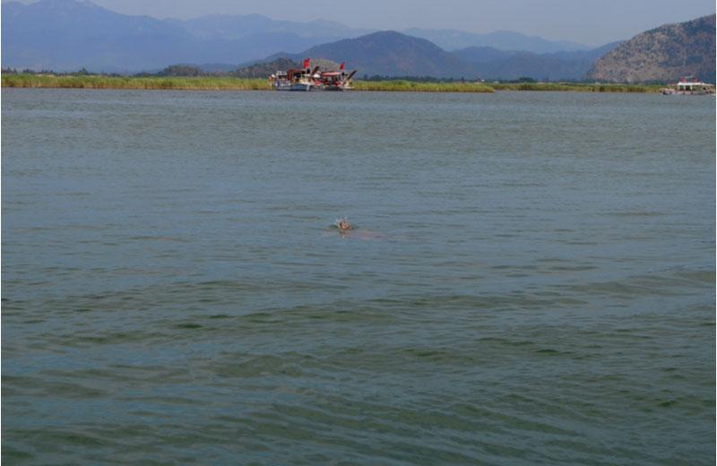Caretta Caretta schildpad in het water