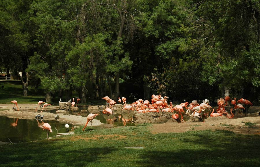 Flamingos in Zoo Madrid